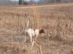 Quail hunting north carolina quail hunting virginia for Nc hunting and fishing license